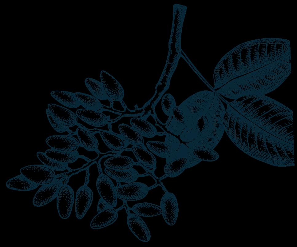 Imagen de una rama de pistacho